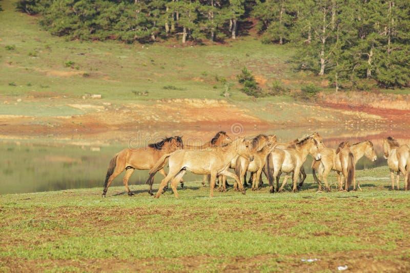 Horses, Suoi Vang riverside, Da Lat city, Lam province, Vietnam. Horses on grassland at Suoi Vang lake in the morning, Da Lat city, Lam Dong, Vietnam. Dalat stock photo