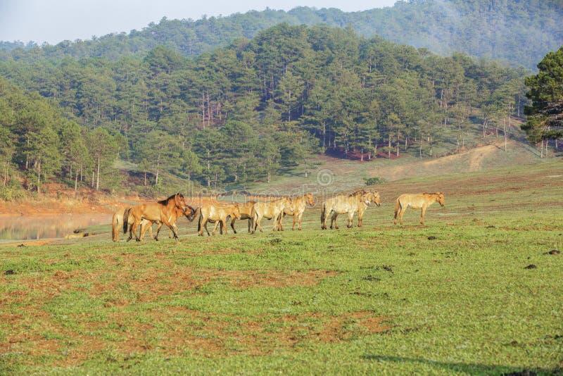 Horses on Suoi Vang riverside, Da Lat city, Lam province, Vietnam. Horse at Suoi Vang lake in the morning, Da Lat city, Lam Dong, Vietnam. Dalat raising many royalty free stock photography
