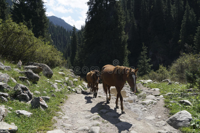 Horses on a trail in Kyrgyzstan stock photography