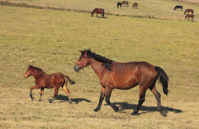 Horses Trotting Stock Photo