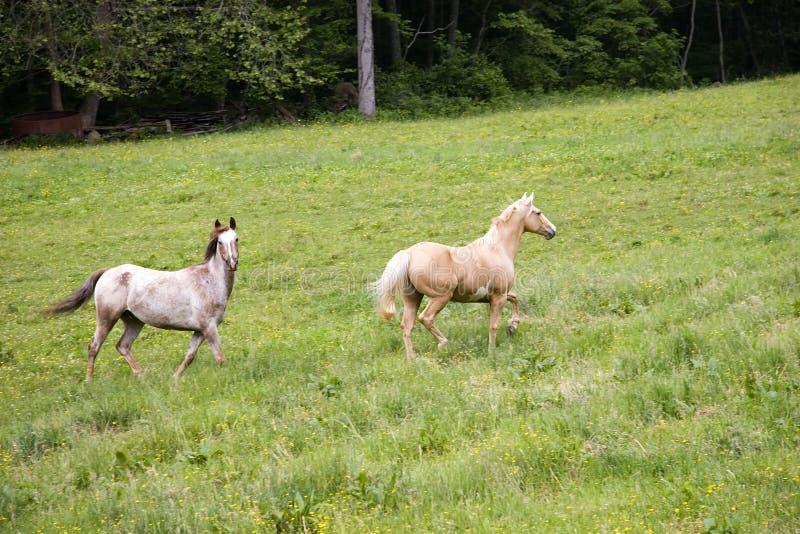 Horses Trotting royalty free stock photography