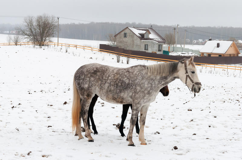 Download Horses stock photo. Image of grey, cold, forest, equestrian - 36484154