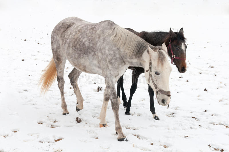 Download Horses stock image. Image of together, stallion, foal - 36482759