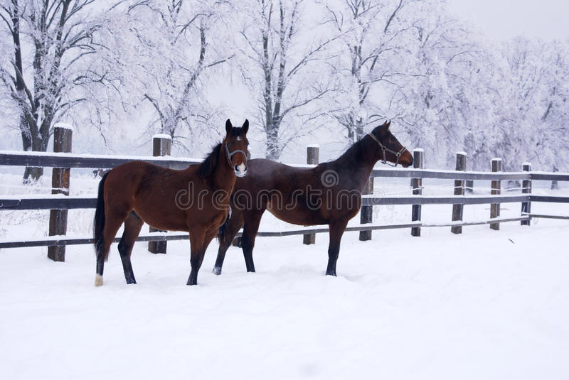 Horses for a walk in winter stock photo