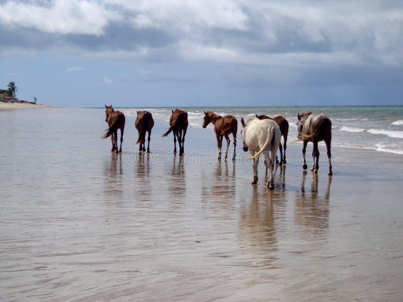Horses Walking On The Beach royalty free stock photo