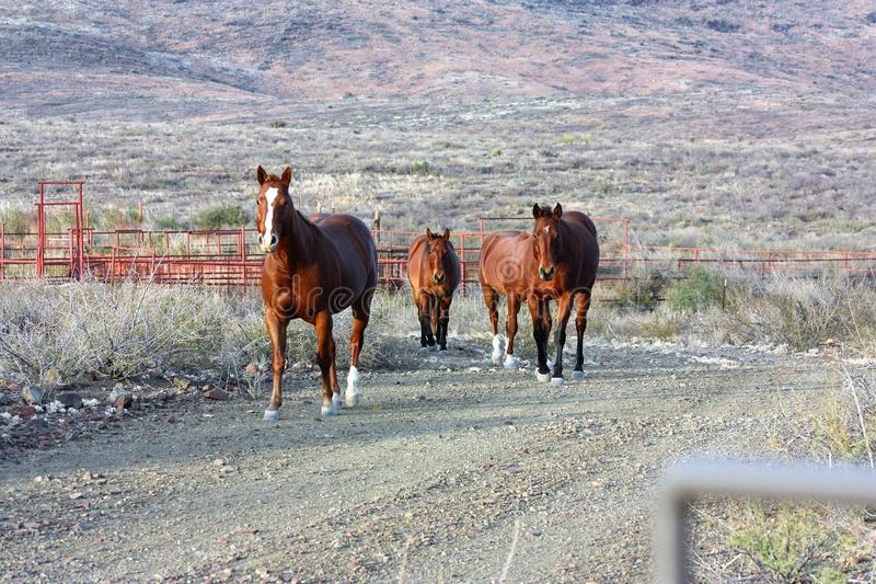 Horses walking the ranch in West Texas stock photos