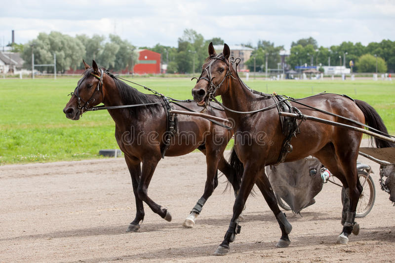 Horses on warm up. Horses are warming up before the races royalty free stock image