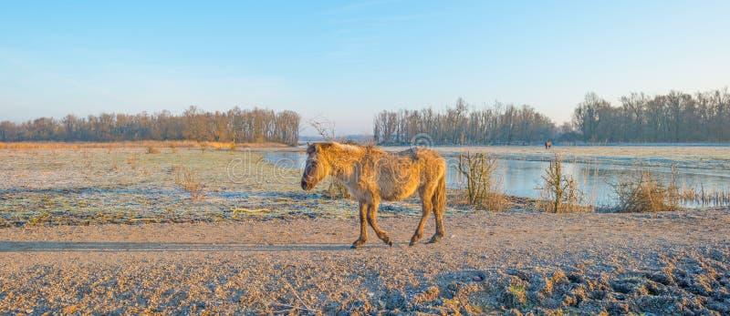Horses in wetland in sunlight. Horses in wetland in winter stock photography