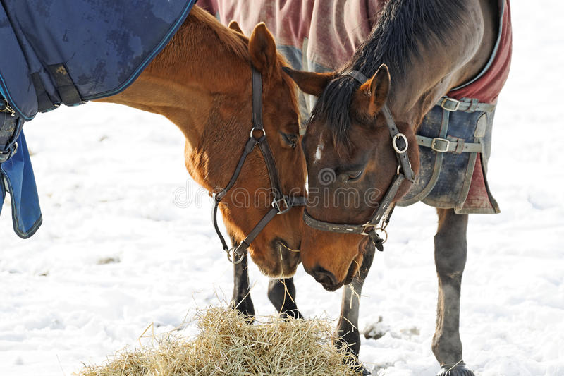 Horses Whispering. 2 Horses in a snow covered paddock in a pose as if sharing a secret royalty free stock photo