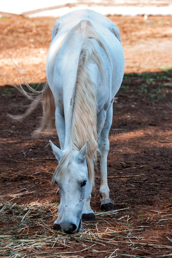 Download Horses stock photo. Image of mare, eating, food, herbivorous - 33297736