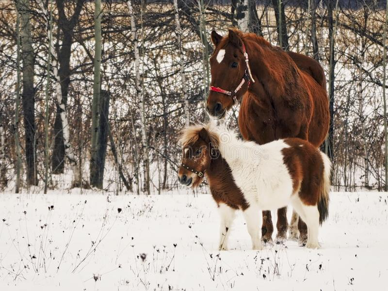 Horses in winter. The horse and the mini-horse walk in a field last winter. It was the last winter of the horse Le Survenant, 32 years old. He had a great life royalty free stock photography