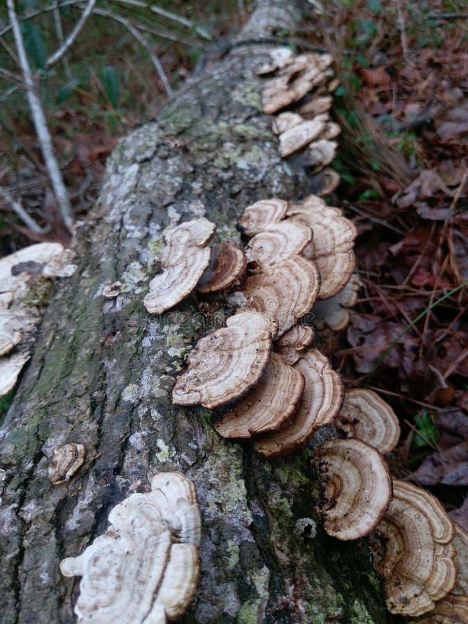 Horseshoe грибы собственной личности стоковые изображения rf