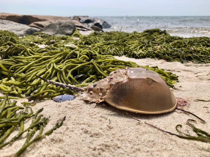 Horseshoe crab on the beach stock images