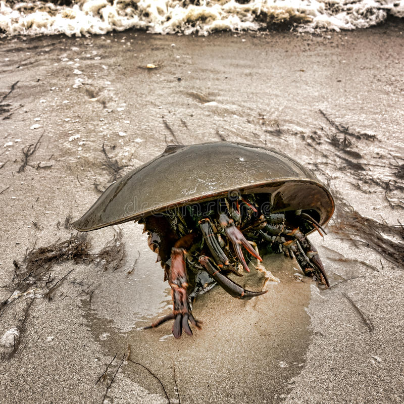 Horseshoe Crab Crawling on Sand Beach royalty free stock photo