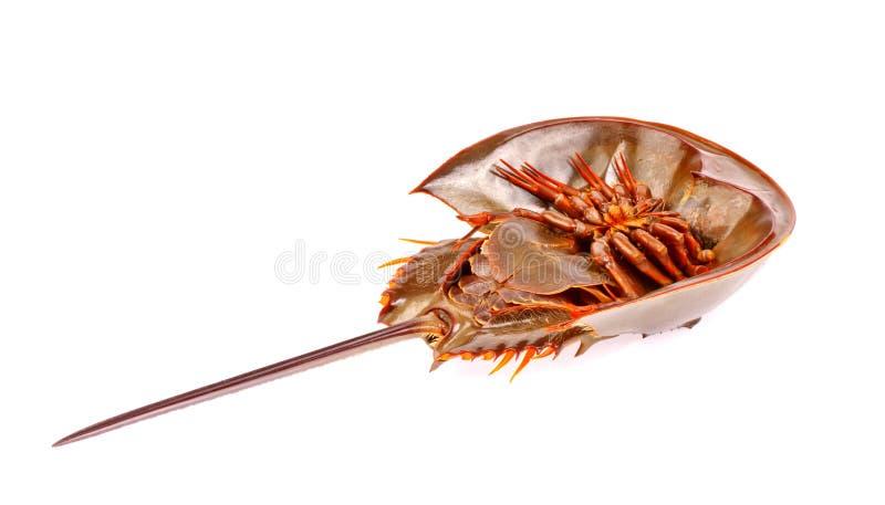 Horseshoe crab in isolated on white. Background royalty free stock photos