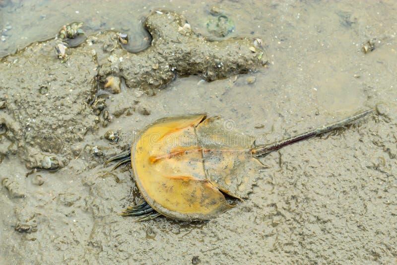 Horseshoe Crab, mud on the floor. royalty free stock image