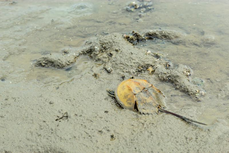 Horseshoe Crab, mud on the floor. royalty free stock photo