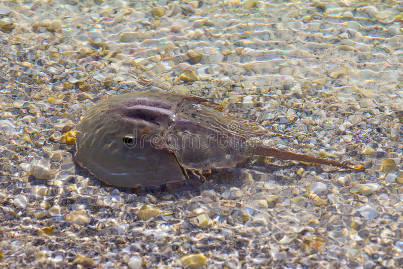 Horseshoe crab in shallow water royalty free stock photo