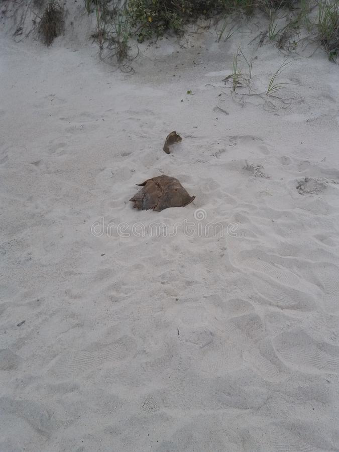 Horseshoe crab shell Fernandina Beach, Florida. Shell stock photo