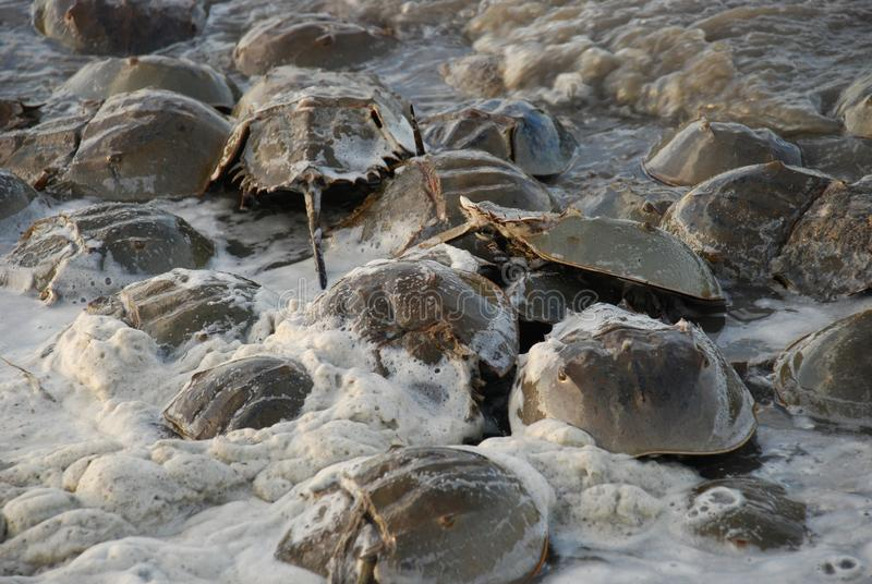 Horseshoe crabs in frothy seaman filled waters along Delaware Bay. Horseshoe crabs line the coasts of Delaware and New Jersey along the Delaware Bay each year in stock photo