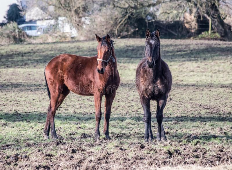 Horsess στον τομέα στοκ εικόνα με δικαίωμα ελεύθερης χρήσης