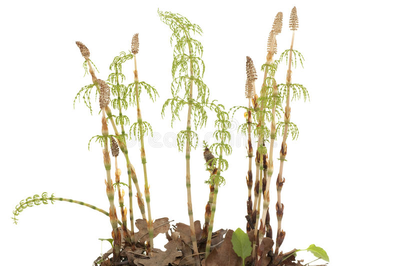 Download Horsetail stock image. Image of cluster, white, herb - 24548871