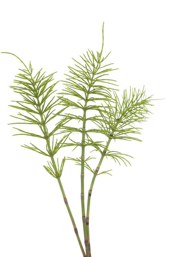horsetail royaltyfria foton