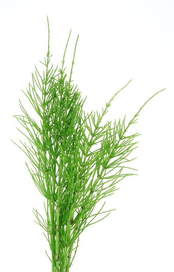Horsetail dell'erba fotografie stock