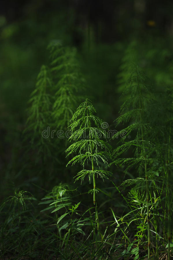 Horsetail. royalty free stock photos