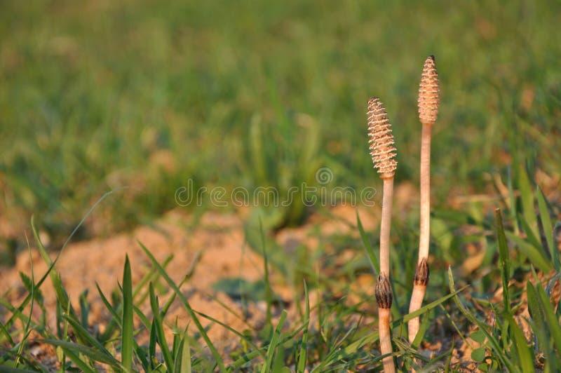 Horsetail plants royalty free stock photos