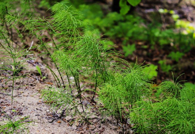 Horsetail, roślina iglasty las fotografia stock