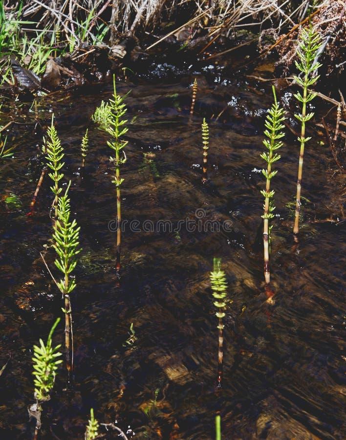 Horsetails die in water in Yosemite groeien royalty-vrije stock fotografie