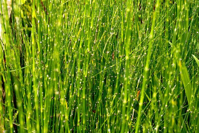 Horsetails Equisetum debile Roxb. in garden for background. stock photos