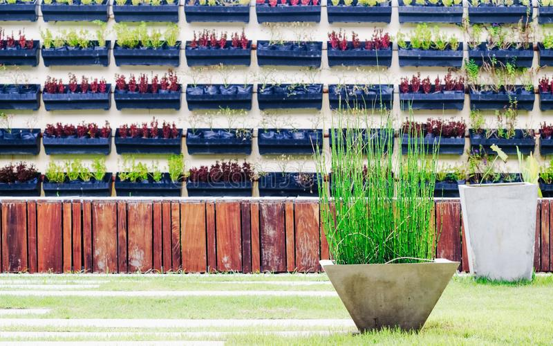 Horsetails shurb water plants in the concrete flower pot decoration in the summer garden with vertical garden in the background stock image