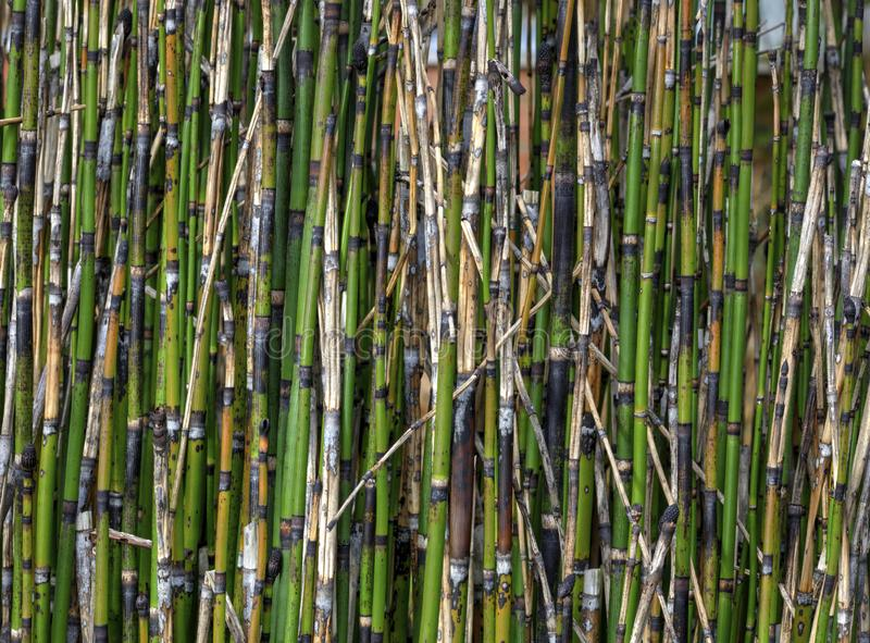 Horsetailvassbambu royaltyfri fotografi