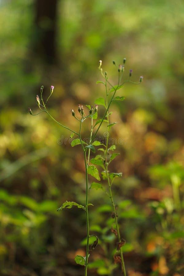 Horseweed lub Conyza canadensis, kanadyjczyk Fleabane, Erigeron bonariensis zdjęcie royalty free