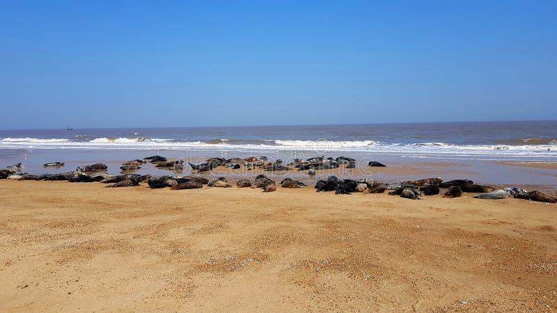 Horsey пляж дикое, серое население уплотнения на побережье Норфолка стоковые фотографии rf