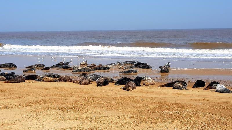 Horsey Strand ist, Kegelrobbebev?lkerung auf der Norfolk-K?ste ein wildes stockfotografie