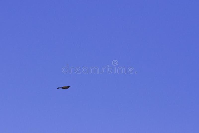 Horsfieldii siffleur volant de Myophonus de grive de Malabar également connu sous le nom d'écolier siffleur sur le ciel bleu photographie stock libre de droits