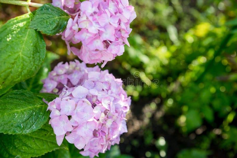 A hortênsia é cor-de-rosa, azul, lilás, violeta, as flores roxas estão florescendo na mola e no verão no por do sol no jardim da  imagens de stock