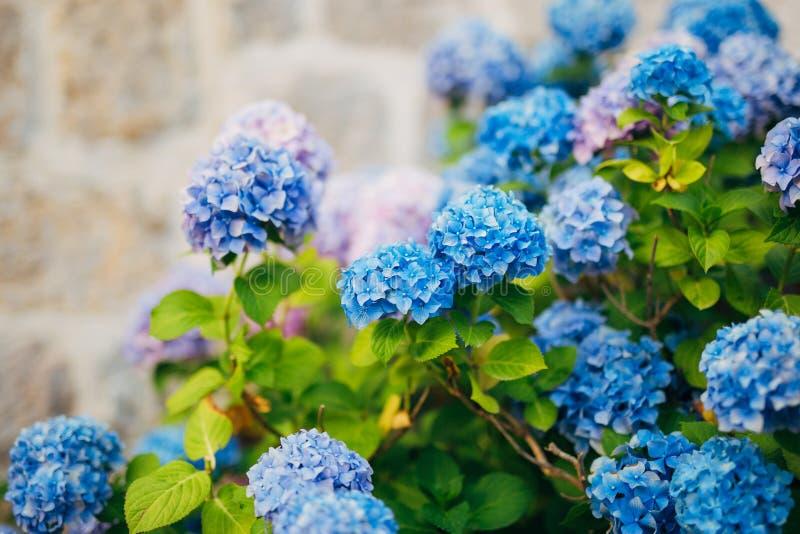 Hortênsia azul, azul, cor-de-rosa das flores na cidade velha de Perast fotos de stock
