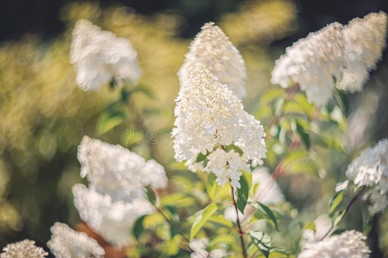 A hortênsia branca pequena floresce em um fundo artístico bonito em um dia ensolarado wallpaper fotografia de stock