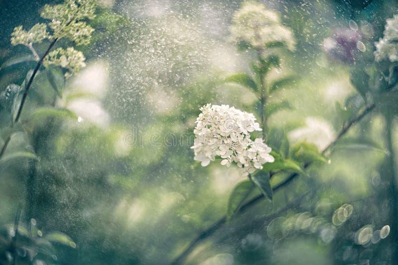 A hortênsia branca pequena floresce em um fundo artístico bonito em um dia ensolarado wallpaper imagens de stock royalty free