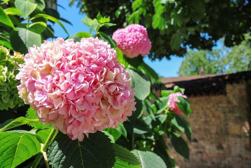 Hortênsia cor-de-rosa de florescência contra a parede de tijolo fotos de stock royalty free