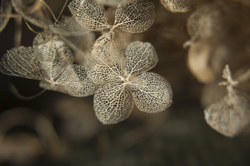 Hortênsia secada ou bordado extremamente refinado fotografia de stock royalty free