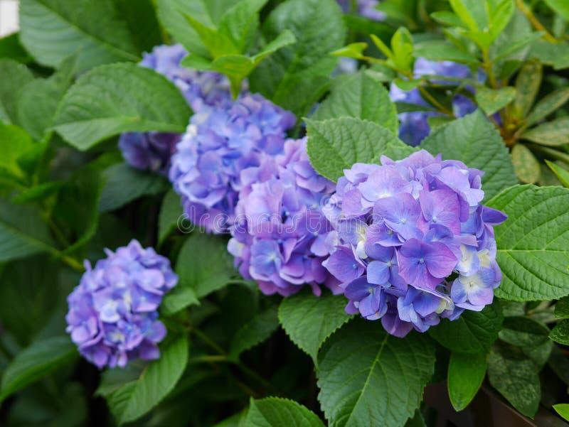 Hortênsias azuis e roxas fotografia de stock royalty free