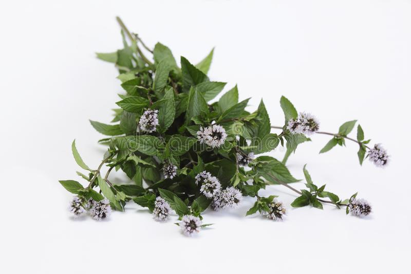 Hortelã de florescência /Mentha aquatica/ imagem de stock