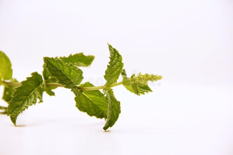 Hortelã Ervas para o alimento e a medicina imagem de stock royalty free