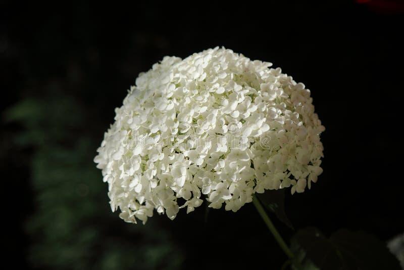 Hortenisa grande maravilhoso no fundo escuro fotografia de stock royalty free
