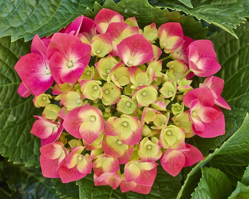 Download Hortensia цветет естественный букет Стоковое Изображение - изображение насчитывающей ослабьте, бобра: 33729759